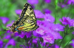 Бабочка на лиловых цветах. Размер - 34 х 28 см.